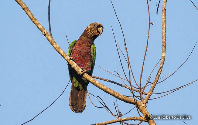 red_fan_parrot