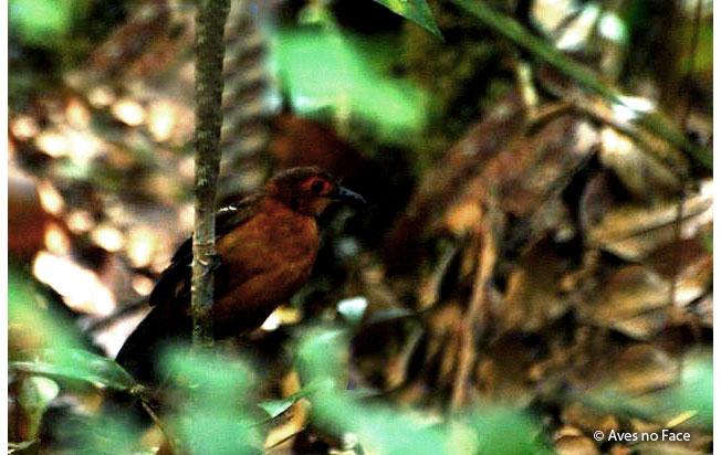 reddish-winged_bare-eye
