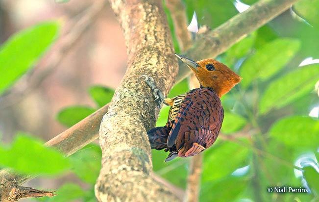 ringed-woodpecker