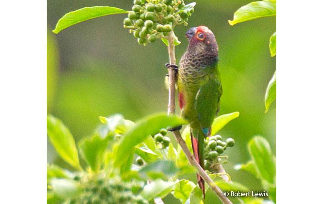 rose-fronted_parakeet