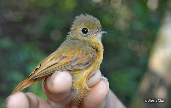 ruddy-tailed_flycatcher