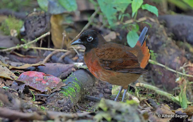 rufous-breasted-antthrush