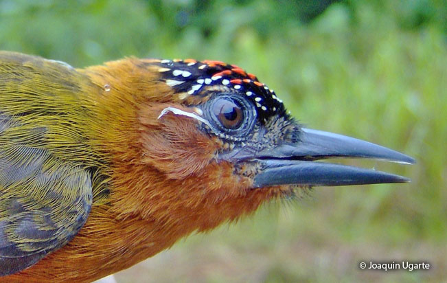 rufous-breasted-piculet