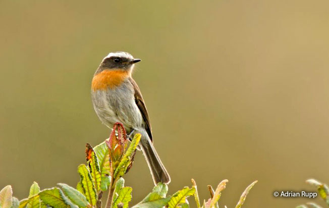 rufous-breasted_chat-tyrant