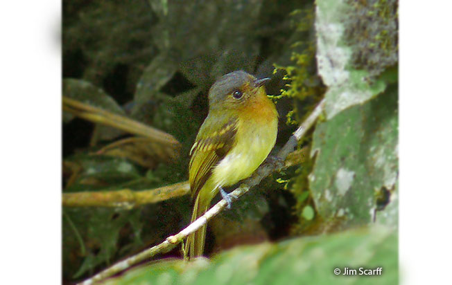 rufous-breasted_flycatcher