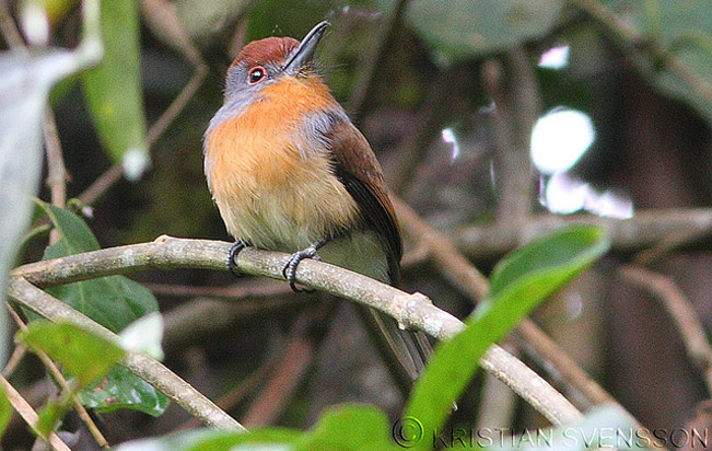 rufous-capped_nunlet