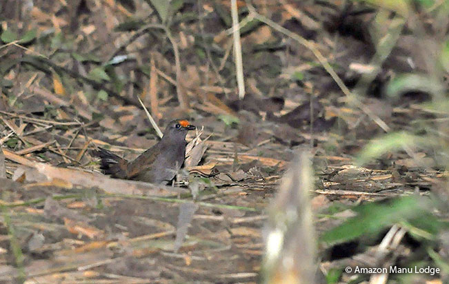 rufous-fronted-antthrush