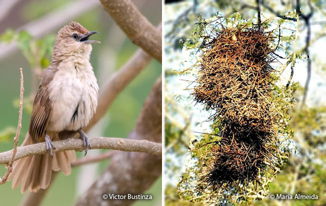 rufous-fronted_thornbird