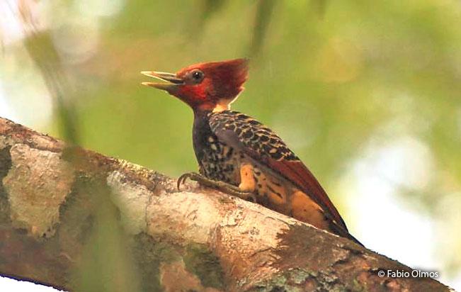 rufous-headed_woodpecker