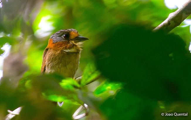 rufous-necked_puffbird