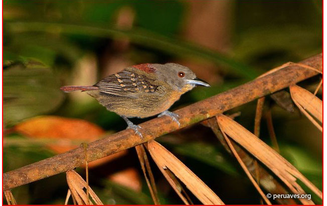 rufous-tailed_antbird