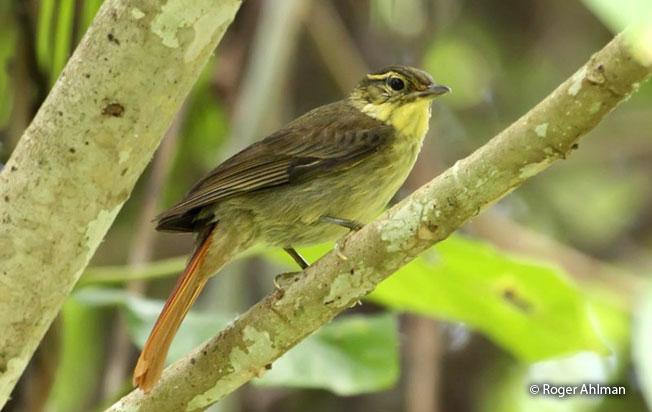 rufous-tailed_foliage-gleaner