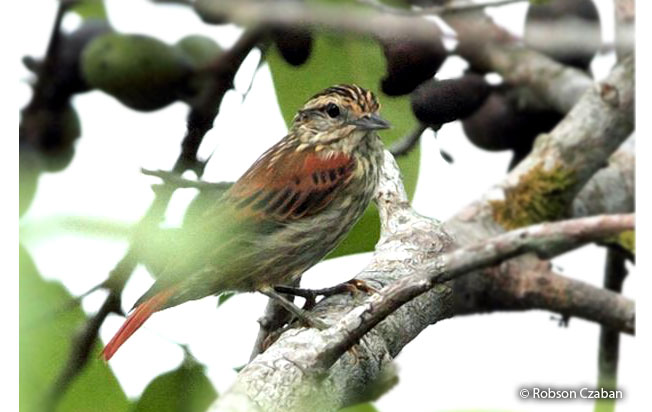rufous-tailed_xenops