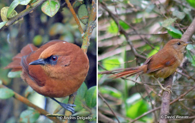 rufous_spinetail