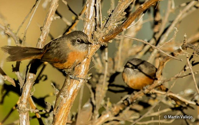 russet-bellied_spinetail