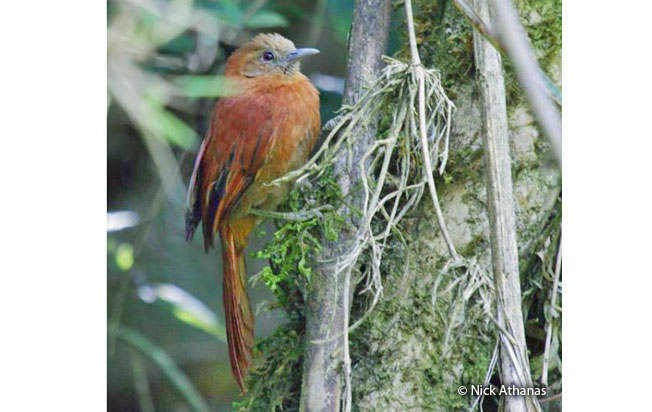 russet-mantled_softtail
