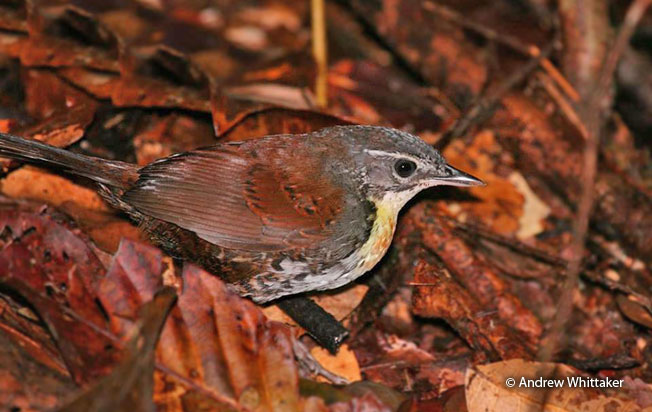 rusty-belted_tapaculo