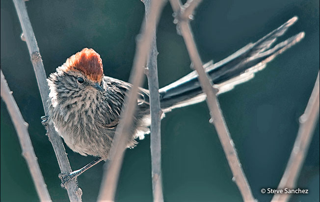 rusty-crowned_tit-spinetail