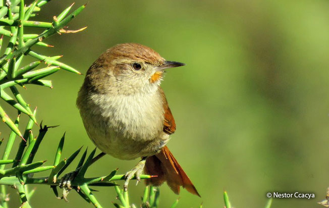 rusty-fronted_canastero