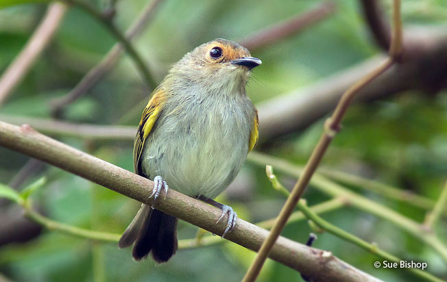 rusty-fronted_tody-flycatcher