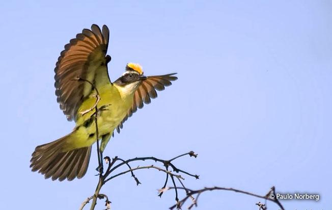rusty-margined-flycatcher
