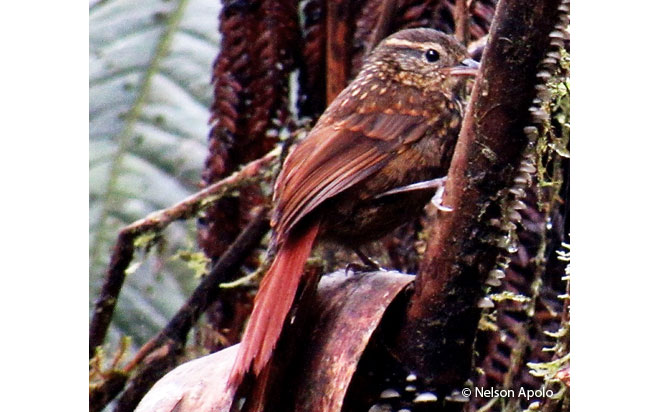 rusty-winged_barbtail