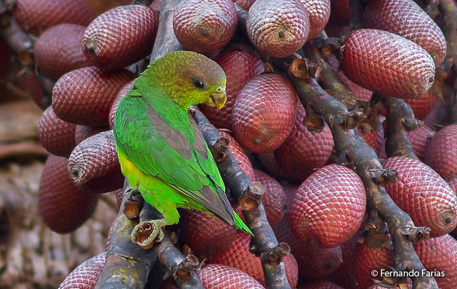 sapphire-rumped_parrotlet