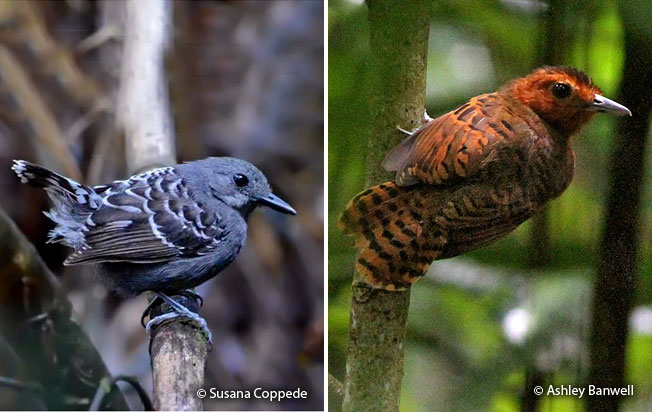 scale-backed_antbird