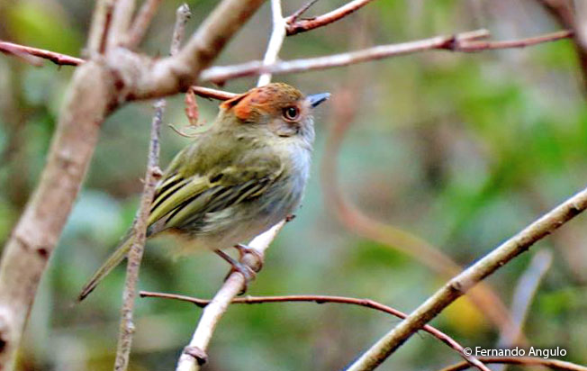 scale-crested_pygmy-tyrant
