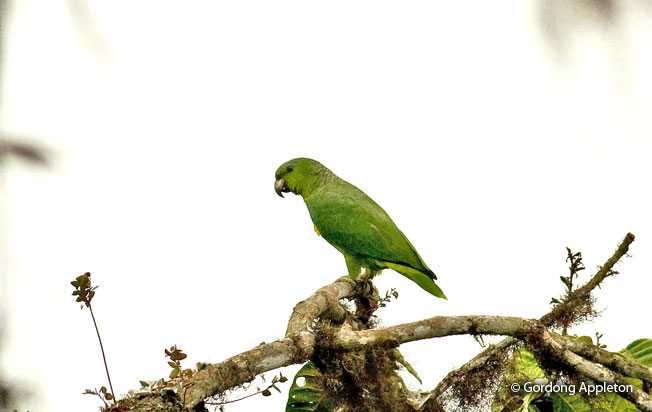 scaly-naped_parrot