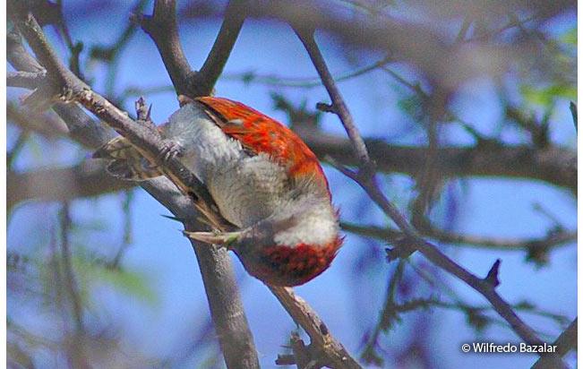scarlet-backed_woodpecker