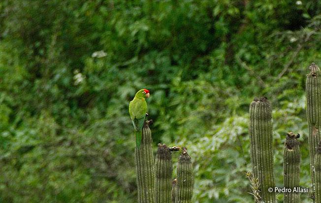 scarlet-fronted_parakeet