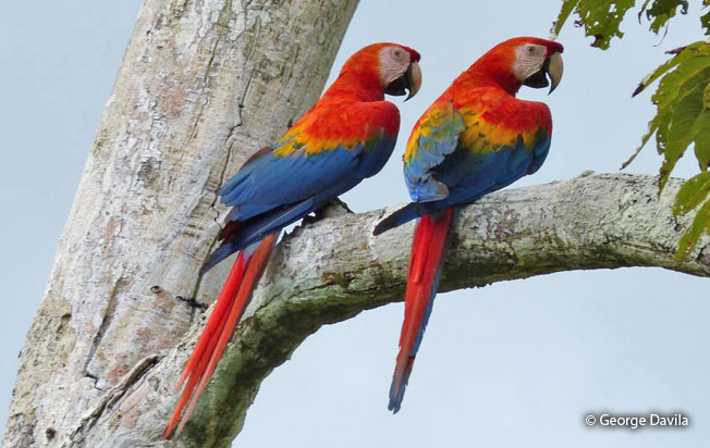 scarlet-macaw