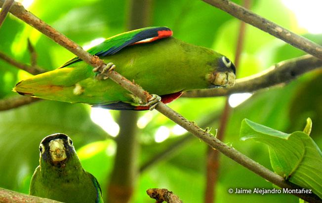 scarlet-shouldered_parrotlet