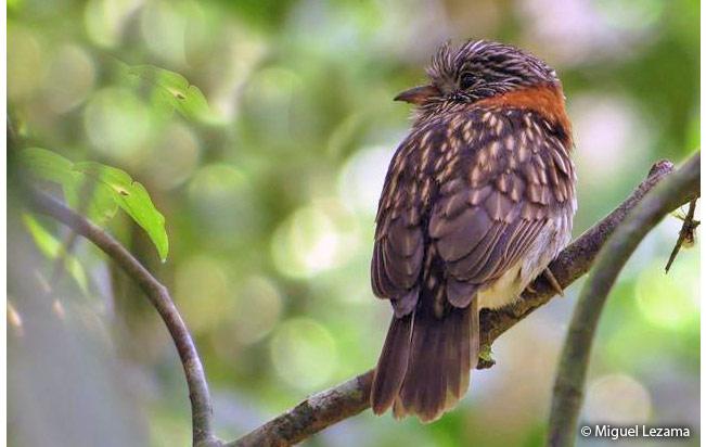 semi-collared_puffbird