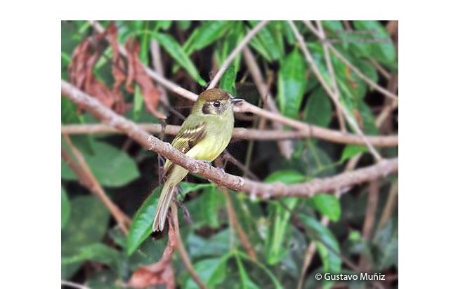 sepia-capped_flycatcher