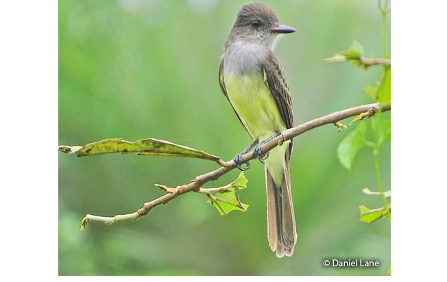 short-crested_flycatcher