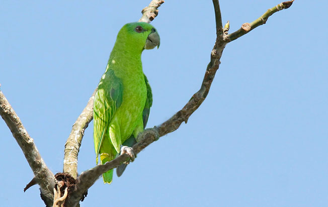 short-tailed_parrot