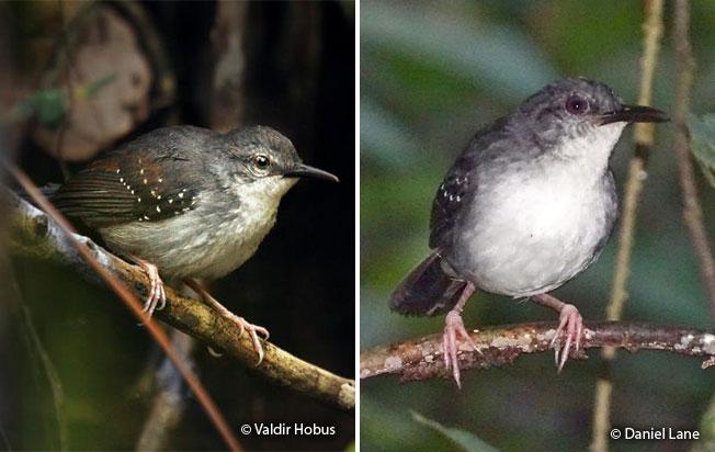 silvered_antbird