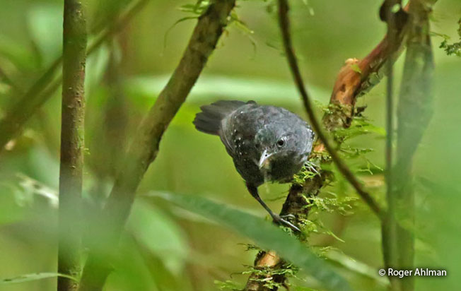 slate-colored_antbird