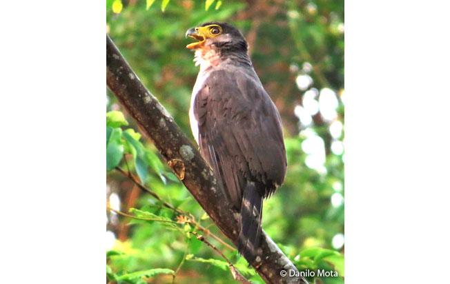 slaty-backed_forest-falcon