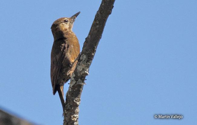smoky-brown_woodpecker