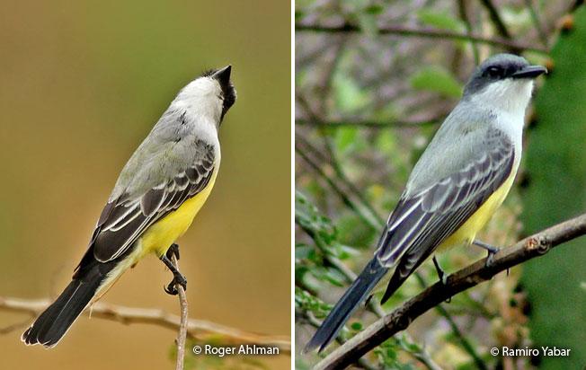 snowy-throated_kingbird