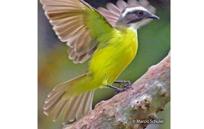 social_flycatcher