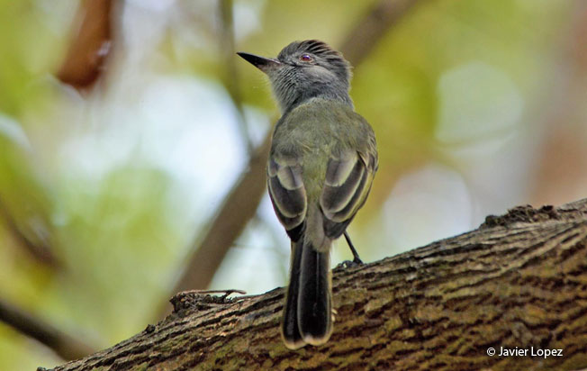 sooty-crowned_flycatcher
