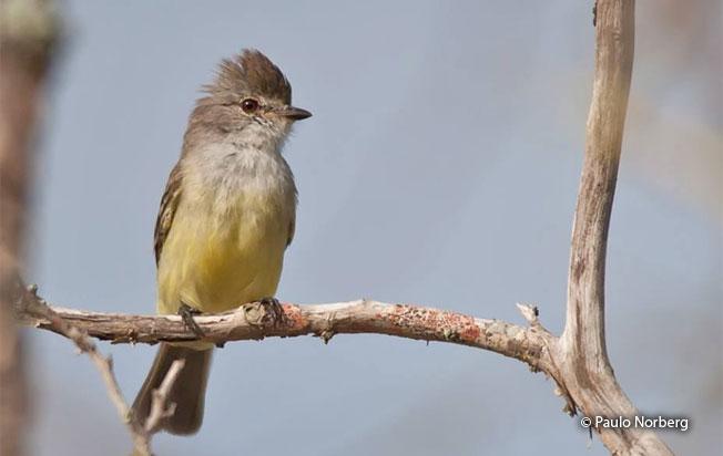 southern_scrub_flycatcher