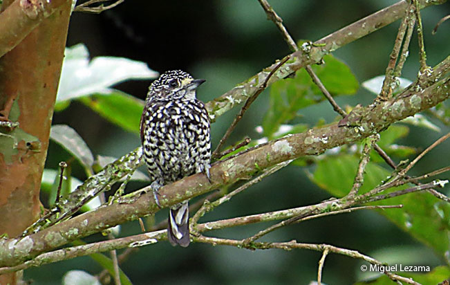 speckle-chested-piculet