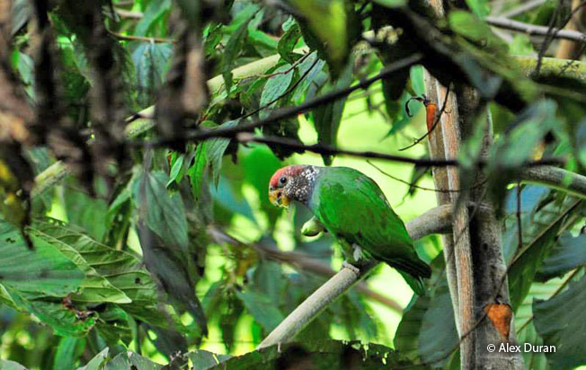 speckle-faced-parrot