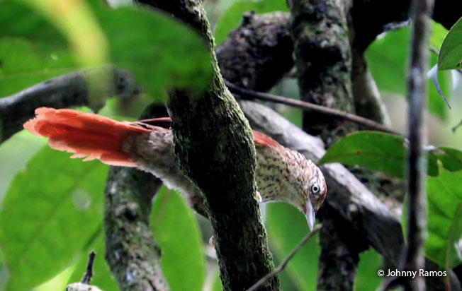 speckled_spinetail