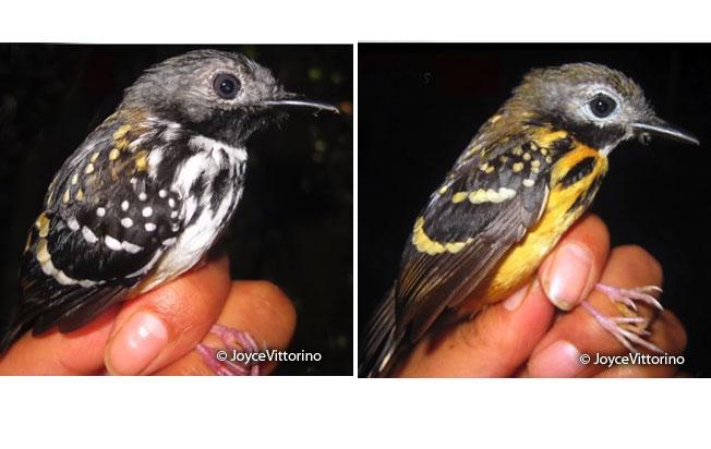 spot-backed_antbird